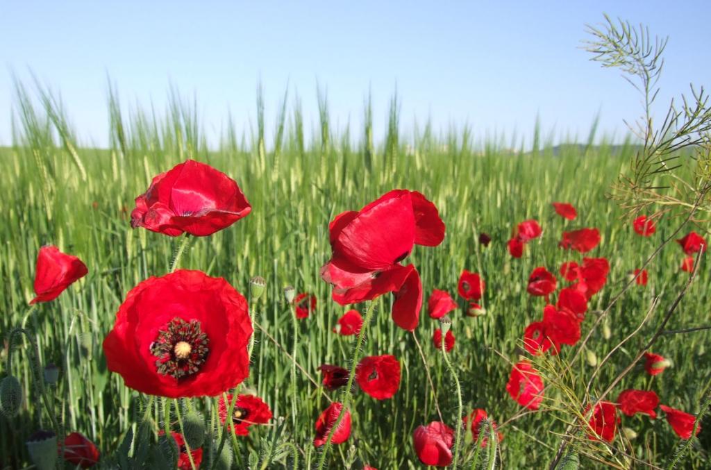 Amapolas en campos de primavera